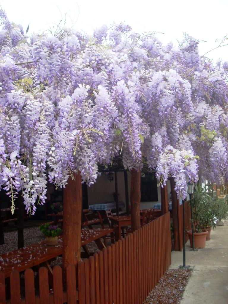 lilaakác virág