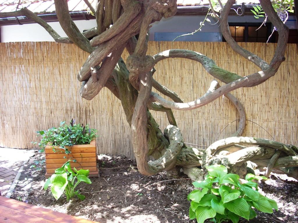 150 éves lilaakác töve