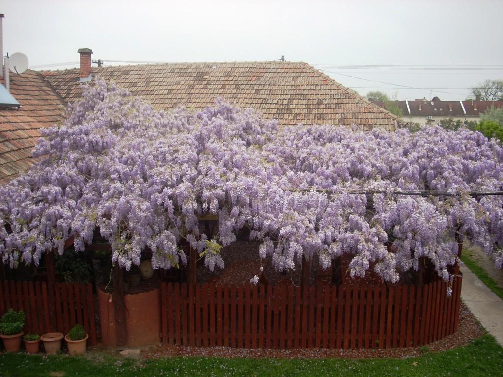 lilaakác tengernyi virággal